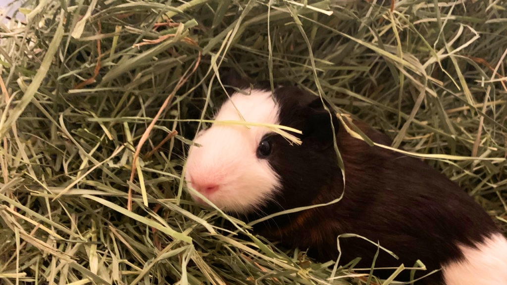 Guinea pig hay: how much and what kind? | GuineaPigDen.com