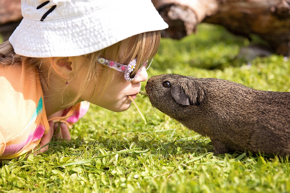 Guinea pigs as pets: PROS and CONS of owning guinea pigs | Guinea Pig Den