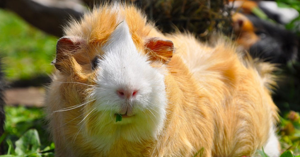 What breed is my guinea pig? Here's how to tell! | Guinea Pig Den